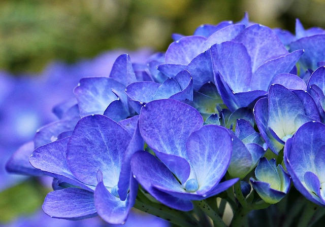 Blueing Hydrangeas
