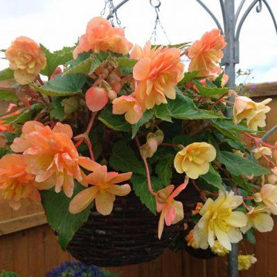 Begonia Apricot Mix